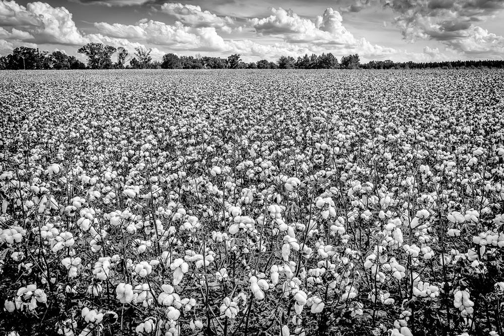 Cotton Patch by Joe Hoyle